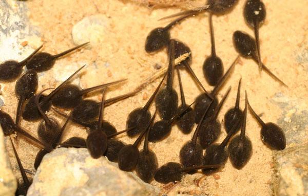 170509_B-viridis-tadpoles-day-1