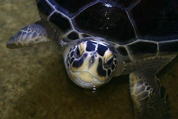 170509_Green-turtle2