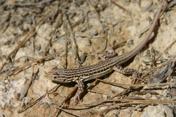 Spiny-footed lizard (Acanthodactylus erythrurus)