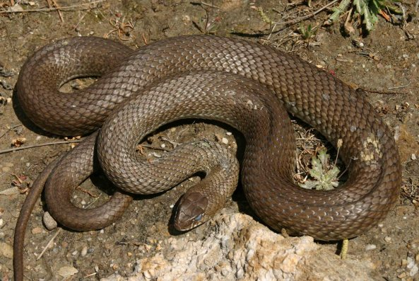 Large and fierce: Montpellier snake (Malpolon monspessulanus)