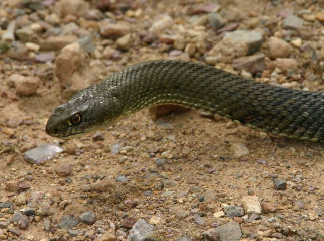 Montpellier snake (Malpolon monspessulanus)