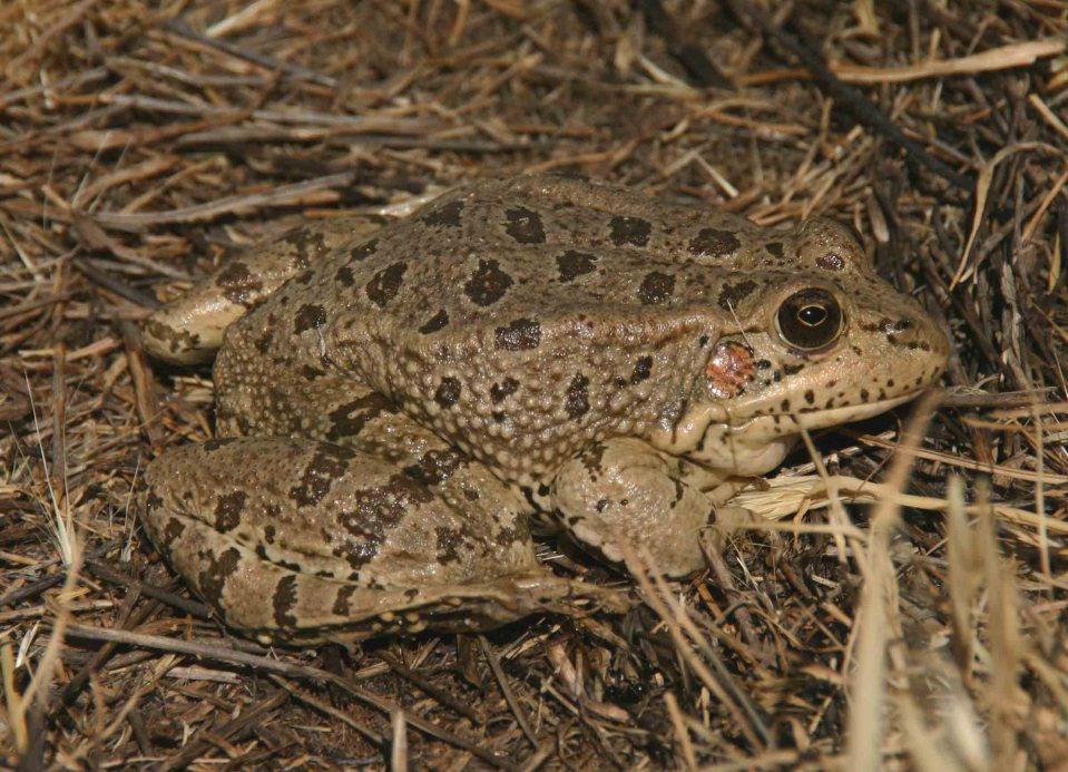 Big Perez's frog (Rana perezi)