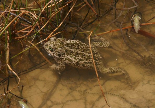 Natterjack toad and eggs