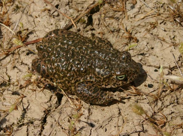 A possible hybrid of Natterjack toad and Western spadefoot toad