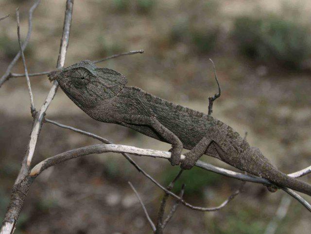 Mediterranean chameleon (Chameleo chameleon)