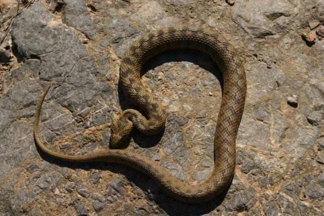 Big viperine snake (Natrix maura)