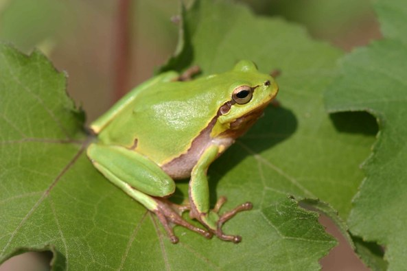 The Common Tree frog (Hyla arborea)