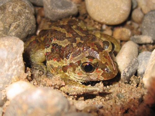 The smaller Common spadefoot toad (Pelobates fuscus) from N-E France (C) Daniel Phillips