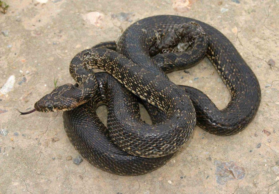 Horseshoe whipsnake (Hemorrhois hippocrepis)