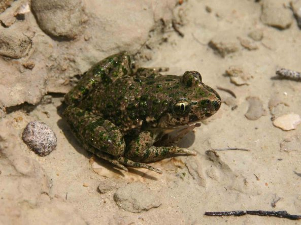 Parsley frog (Pelodytes punctatus)