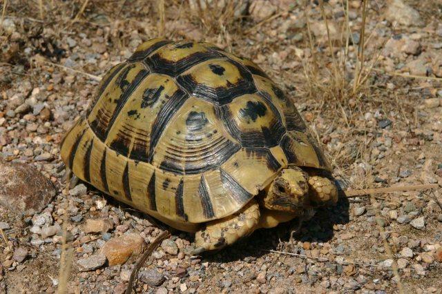 Spur-thighed or Moorish tortoise (Testudo graeca)