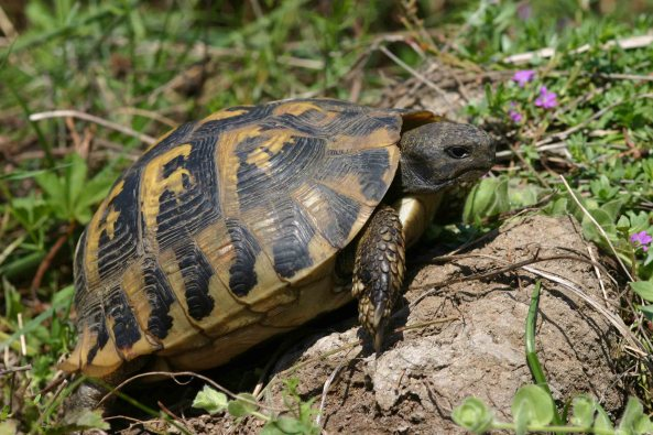 One of my favorite reptiles: Hermann's tortoise (Testudo hermanni)