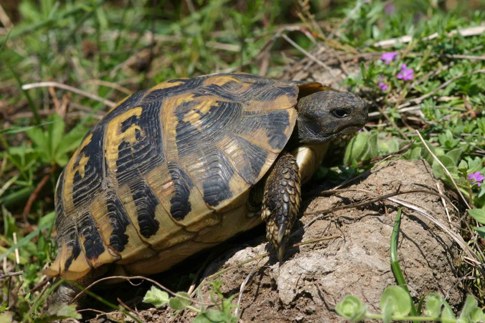 One of my favorite reptiles: Hermann's tortoise (Testudo hermanni)
