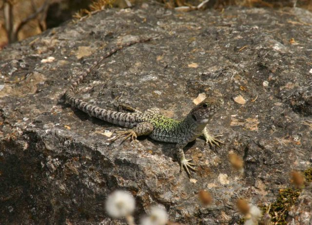 Sub adult Ocellated lizard (Timon lepidus)