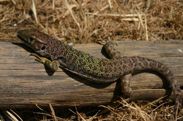 Sub-adult Ocellated lizard (Timon lepidus nevadensis)