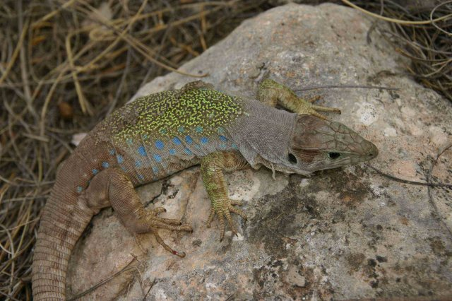After running from rock to rock I eventually caught this big Ocellated lizard (Timon lepidus)