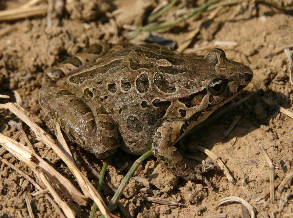 Painted frog (Discoglossus pictus)