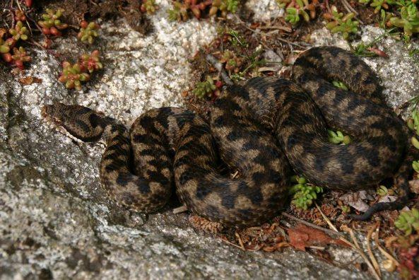 Second Asp viper (Vipera aspis zinnikeri)