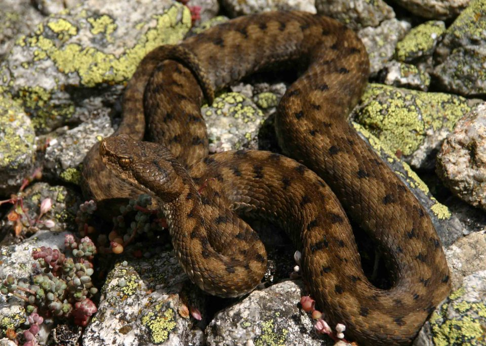 Third Asp viper (Vipera aspis zinnikeri)