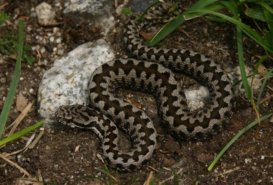 Fourth Asp viper (Vipera aspis zinnikeri)