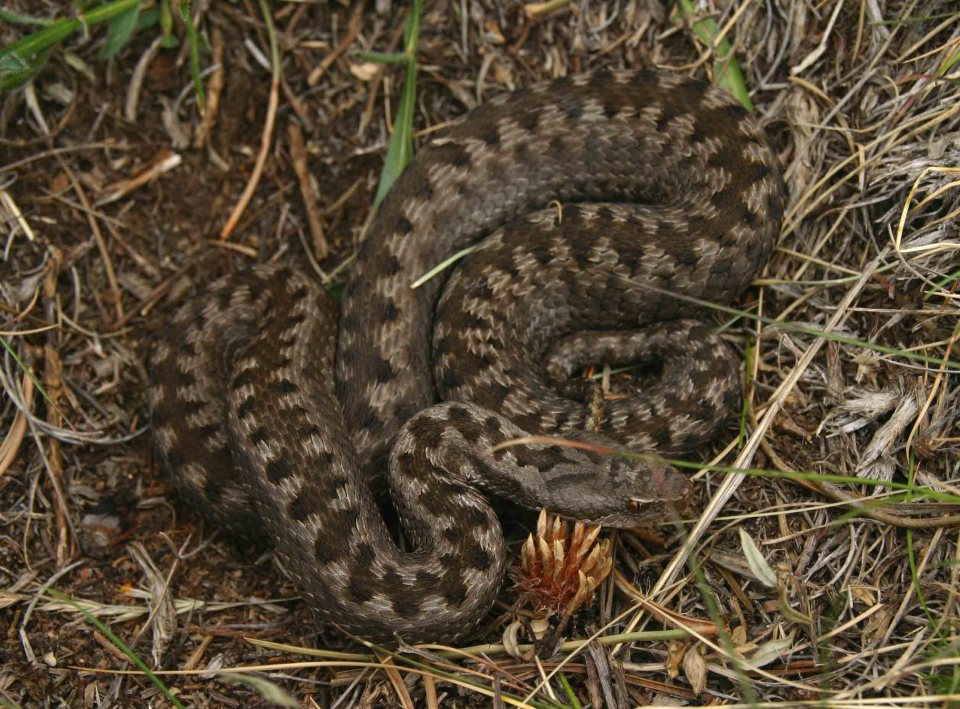 Fifth and last Asp viper (Vipera aspis zinnikeri)