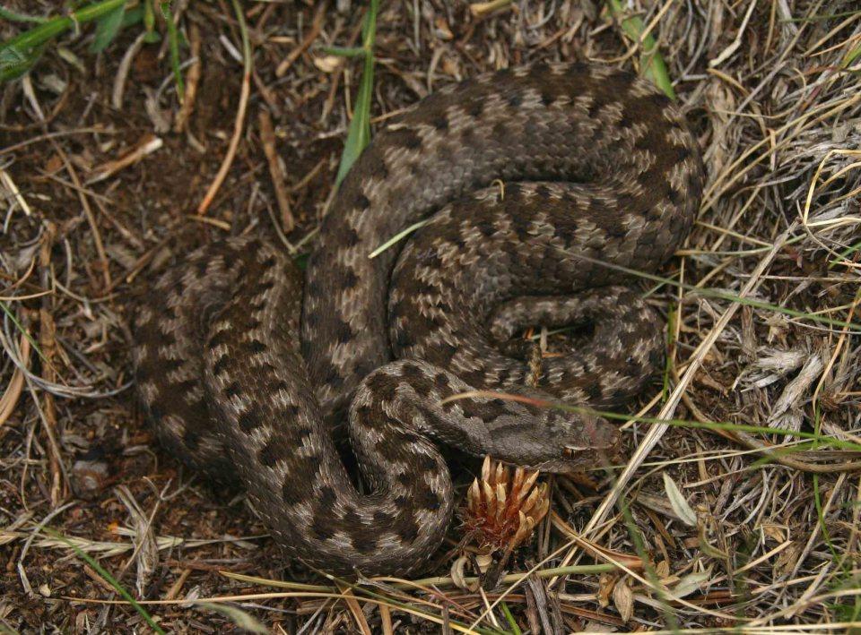Fifth and last Asp viper (Vipera aspis zinnikeri)