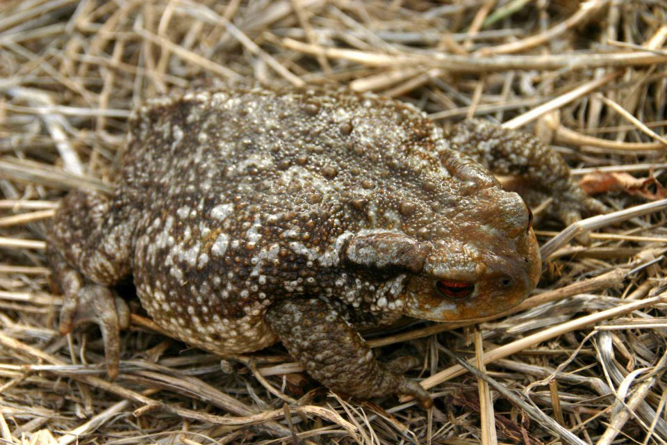 Very large female Common toad (Bufo bufo spinosus)