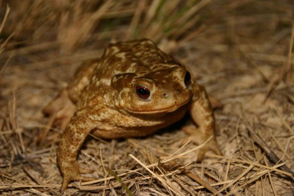Female Common toad (Bufo bufo spinosus)