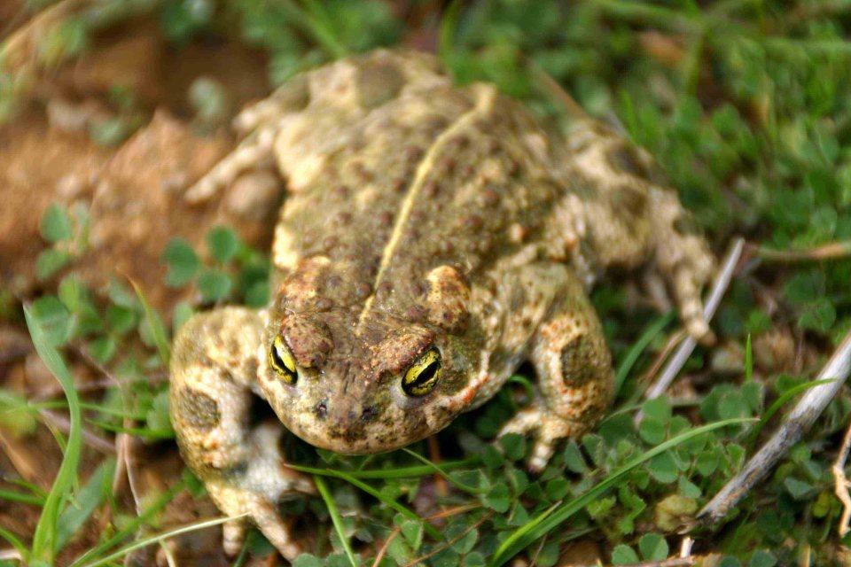 Natterjack toad (Bufo calamita)