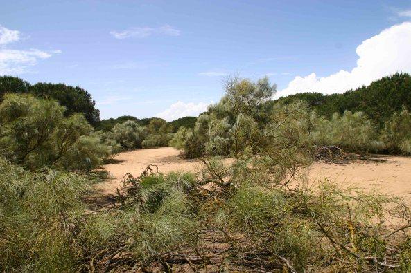 Habitat of Mediterranean Chameleon (Chameleo chameleon)
