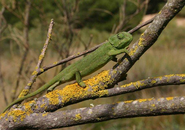 Mediterranean chameleon (Chameleo chameleon) in his own tree where he belongs
