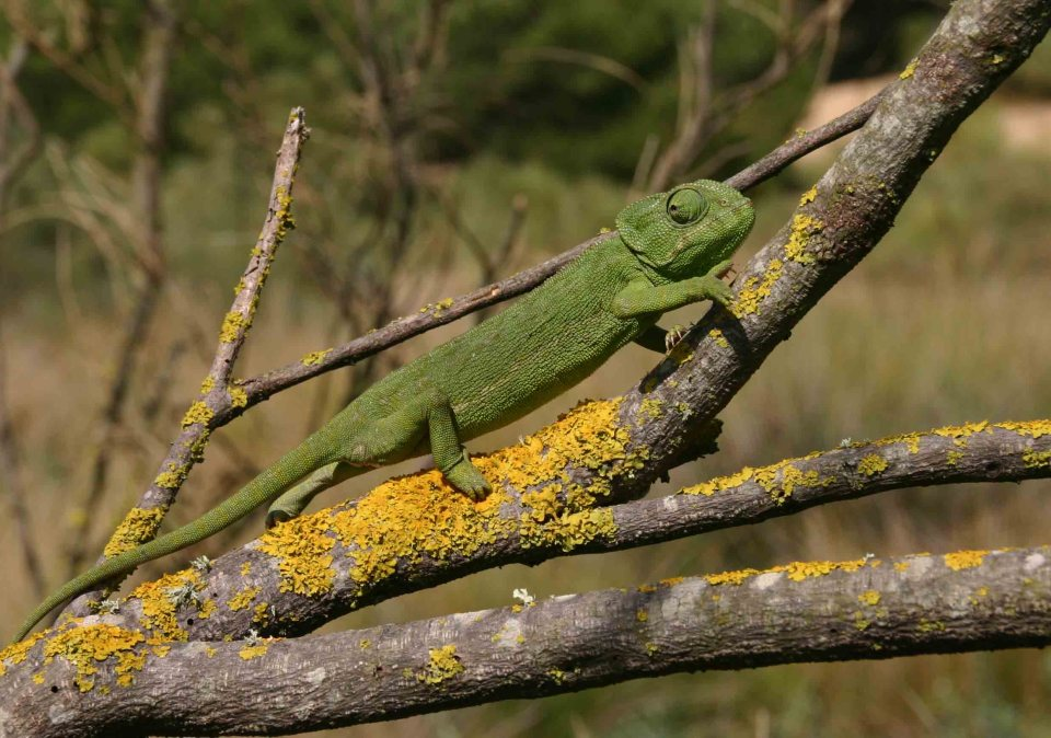 Mediterranean chameleon (Chameleo chameleon) in his own tree where he belongs