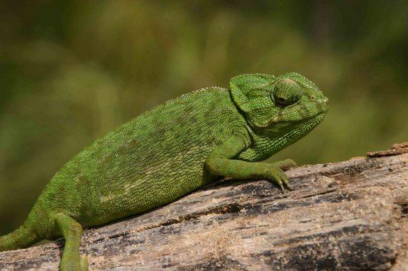 Mediterranean chameleon (Chameleo chameleon) a prime target for evil collectors