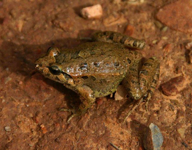 Iberian Painted frog (Discoglossus galganoi)