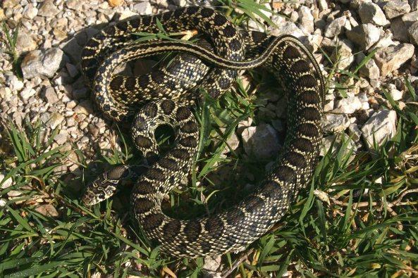 Horseshoe whip snake (Hemorrhois hippocrepis)