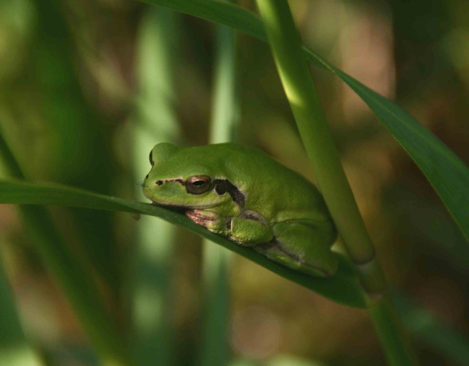 Mediterranean tree frog (Hyla meridionalis) resting during the daytime