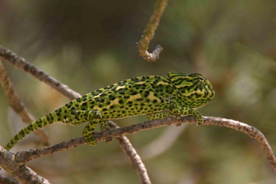 A young chameleon (Chameleo chameleon)