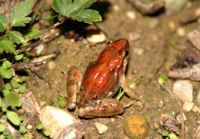 Juvenile Painted frog (Discoglossus pictus)