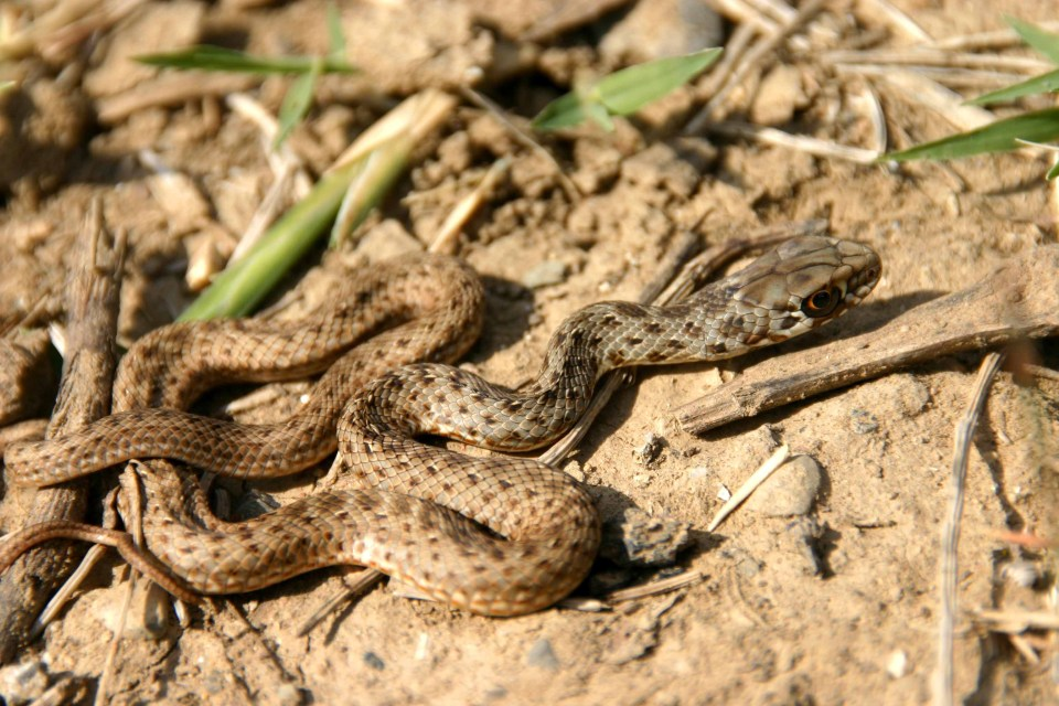 A hatchling Montpellier snake (Malpolon monspessulanus) rescued from a hillside road