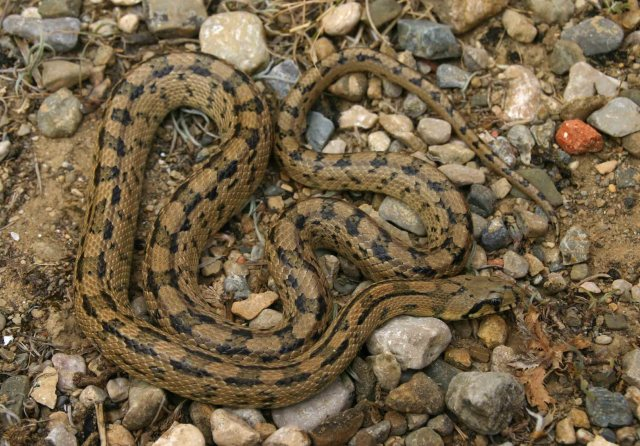 Second Ladder snake (Rhinechis scalaris)