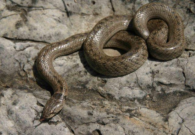 False smooth snake (Macroprotodon brevis)