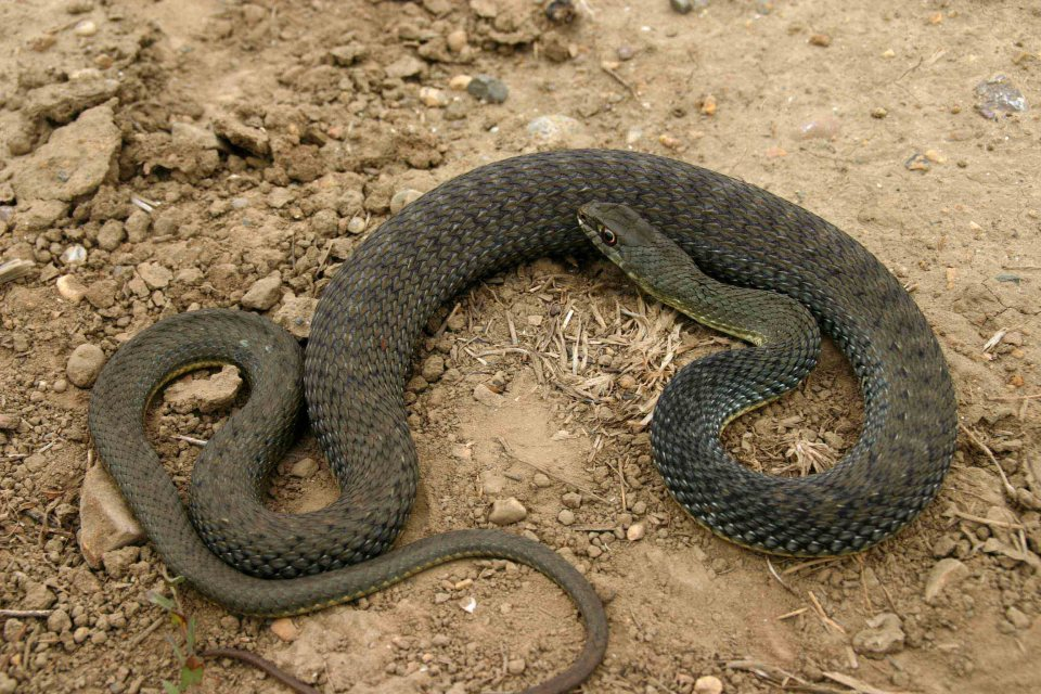 Adult Montpellier snake (Malpolon monspessulanus)