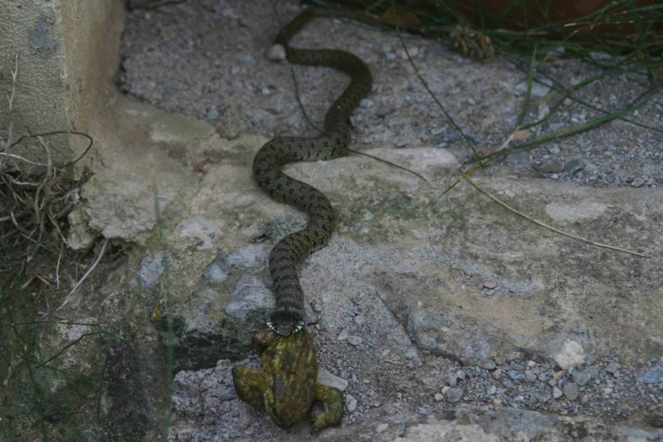 Grass snake (Natrix natrix) feeding on a Common toad (Bufo bufo)