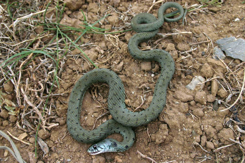 A Grass snake (Natrix natrix) feigning death