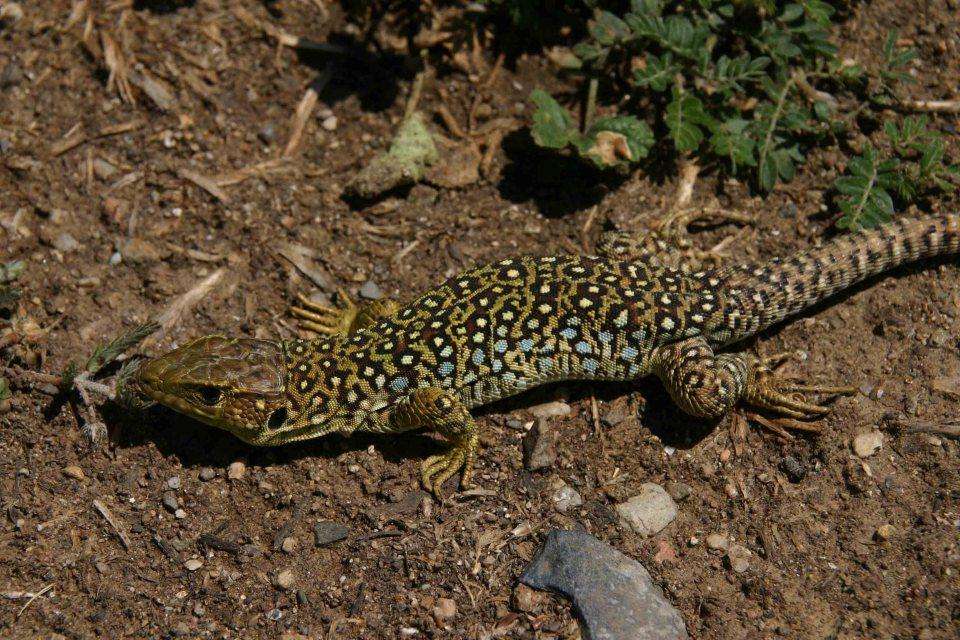 Ocellated lizard (Timon lepidus)
