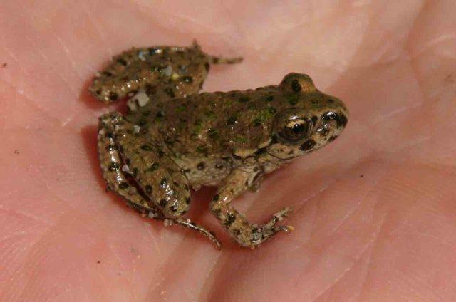 Juvenile Iberian parsley frog (Pelodytes ibericus)