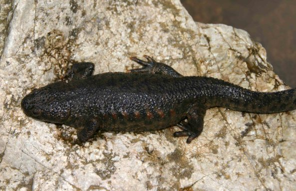 Sharp-ribbed newt (Pleurodeles walti)