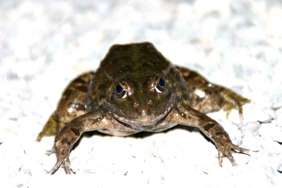 Huge Marsh frog (Rana ridibunda)