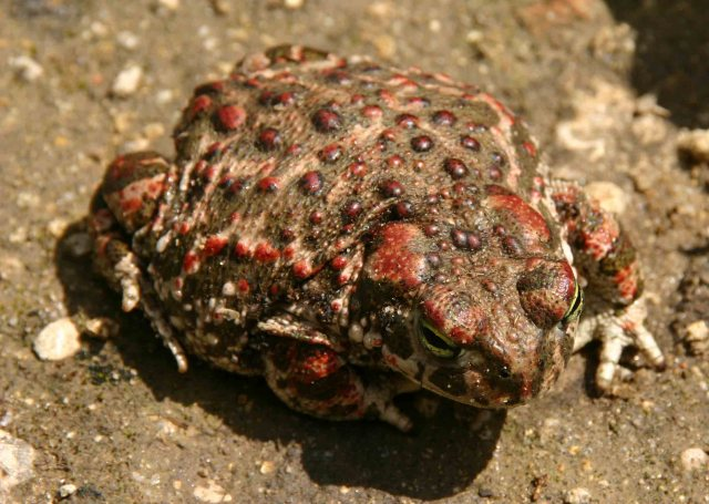 Reddish Natterjack toad (Bufo calamita)