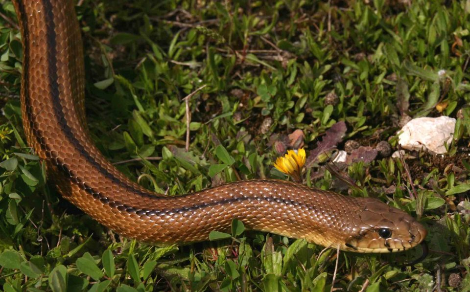 Ladder snake (Rhinechis scalaris)